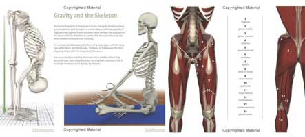 yoga anatomy key muscles book
